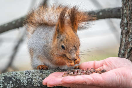 A squirrel in the spring or autumn eats nuts from a human hand. Eurasian red squirrel, Sciurus vulgaris.