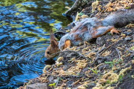 The squirrel drinks water from pond in the spring or summer. Squirrel with shedding hair. Eurasian red squirrel, Sciurus vulgaris Banco de Imagens