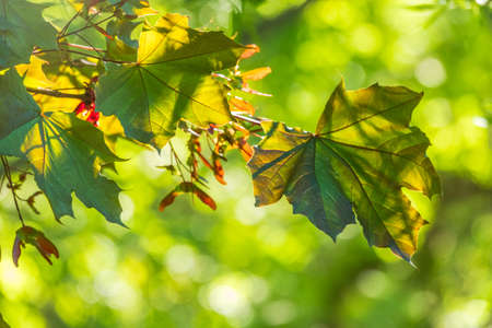 Branches of maple with green leaves lit by the setting sun. Spring background Banco de Imagens