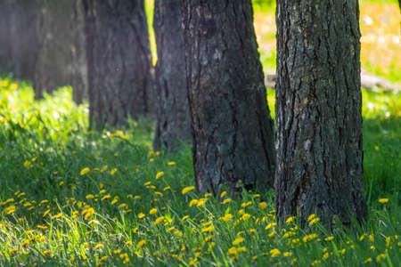Straight trunks of larch trees in a green meadow. Larix sibirica, the Siberian larch or Russian larch. Banco de Imagens