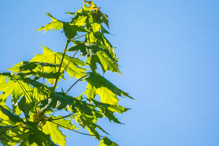 Spring branches of maple tree with fresh green leaves on a background of blue sky. Spring leaves and blue sky as background. Spring background with copy space