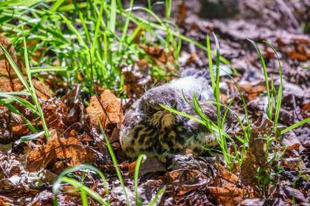 A fieldfare chick, Turdus pilaris, has left the nest and sitting on the spring lawn. A fieldfare chick sits on the ground and waits for food from its parents. Wildlife scene from spring forest.