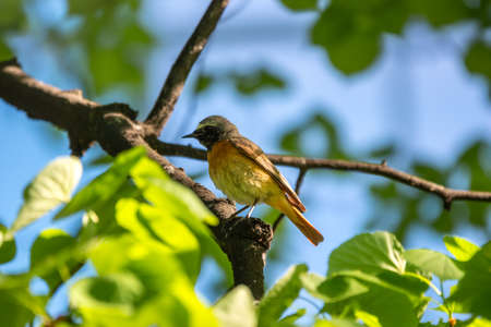 The common redstart sits on a branch against a bright blurred background in the morning sun. The common redstart, Phoenicurus phoenicurus, or simply redstart Banco de Imagens