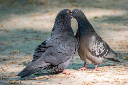 Mating games of a pair of pigeons. Pigeons in love game Banco de Imagens