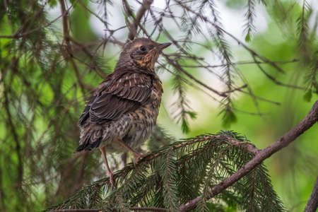 A fieldfare chick, Turdus pilaris, has left the nest and is sitting on a branch. A chick of fieldfare sitting and waiting for a parent on a branch. Wildlife scene from spring forest.