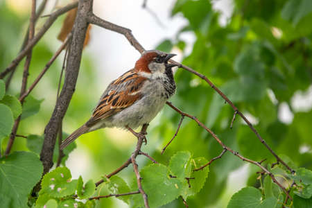 Sparrow sitting on a green birch branch in the sunset light. Sparrow with playful poise on branch of a birch in spring or summer