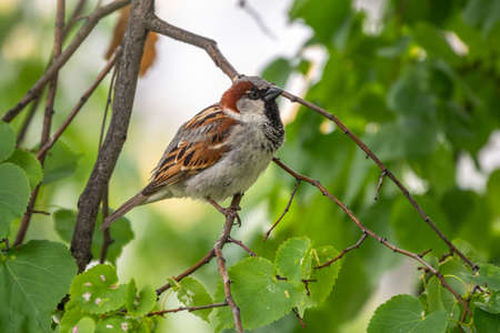 Sparrow sitting on a green birch branch in the sunset light. Sparrow with playful poise on branch of a birch in spring or summer Banque d'images