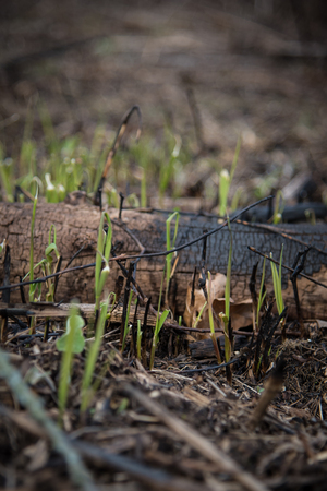 new growth emerging after controlled burn in forest preserves Banco de Imagens