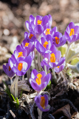 macro closeup of tiny purple and yellow crocus flowers coming up from ground in early spring
