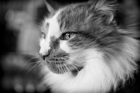 black and white portrait of a male adult tabby cat Stock Photo