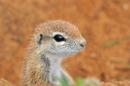 xerus inauris: Cape Ground Squirrel