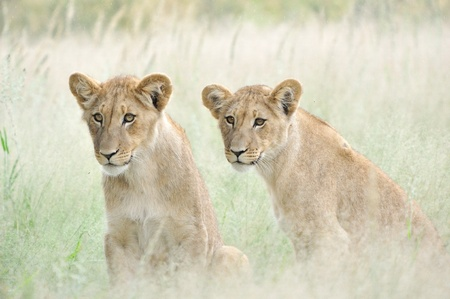 Lion cubs in the Kalahari photo