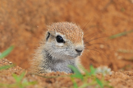 Cape Ground Squirrel  Xerus Inauris   Photo taken at Mata Mata in the Kgalagadi Transfrontier Park, South Africa