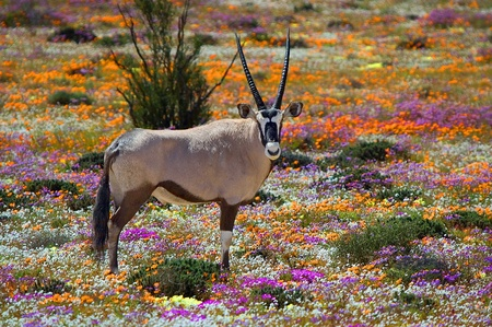 Oryx between flowers, Namaqualand, South Africa