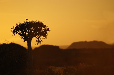 A bird on a quiver tree against the sunset