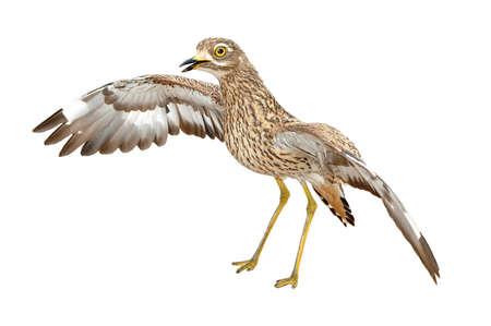 welling: Angry Spotted spessa ginocchio, Burhinus capensis, un uccello notturno che zampilla a terra isolato su bianco
