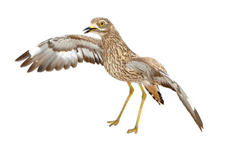 welling: Angry Spotted thick-knee, Burhinus capensis, a nocturnal ground welling bird isolated on white Stock Photo