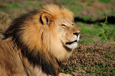 contractual: A Kalahari lion, panthera leo, in the Kuzuko contractual area of the Addo Elephant National Park in South Africa