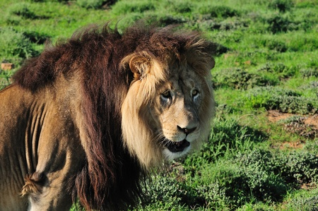 A Kalahari lion, panthera leo, in the Kuzuko contractual area of the Addo Elephant National Park in South Africa Stock Photo - 13369824