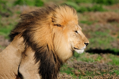 A Kalahari lion, panthera leo, in the Kuzuko contractual area of the Addo Elephant National Park in South Africa Stock Photo - 13369829