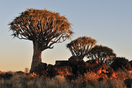 Sunrise at the Quiver Tree Forest near Keetmanshoop, Namibia Stock Photo - 13369836