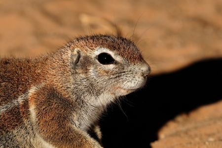 xerus inauris: Cape Ground Squirrel (Xerus Inauris). Photo taken at Mata Mata in the Kgalagadi Transfrontier Park, South Africa