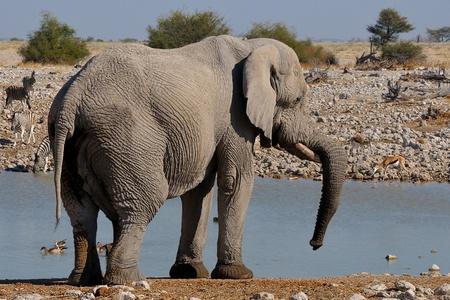 terrestrial mammal: Elephant resting its trunk on tusk in the Etosha National Park, Namibia Stock Photo