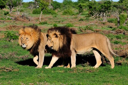 Two Kalahari lions, panthera leo, in the Kuzuko contractual area of the Addo Elephant National Park in South Africa Stock Photo