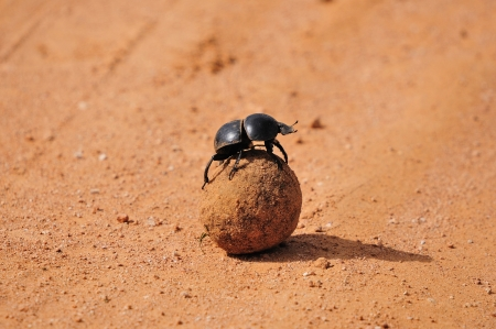 Flightless Dung Beetle, Circellium bacchus in the Addo Elephant National Park in South Africa