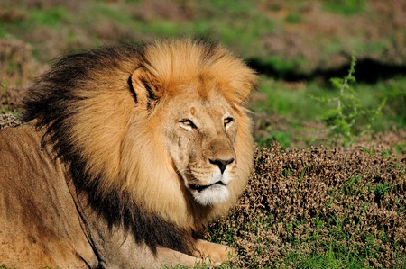 A male Kalahari lion, panthera leo, in the Kuzuko contractual area of the Addo Elephant National Park in South Africa photo