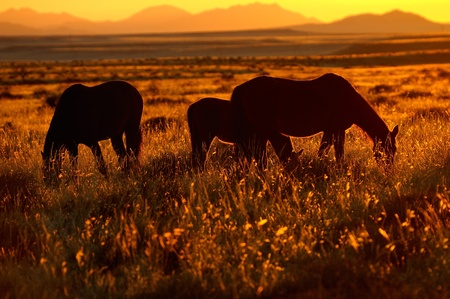 Wild Horses of the Namib near Aus, Namibia  photo