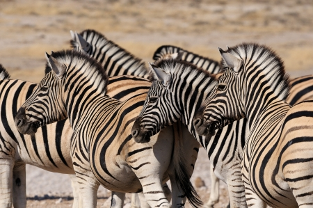 equid: Zebra herd in Etosha National Park, Namibia Stock Photo