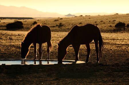 equid: Wild Horses of the Namib near Aus, Namibia