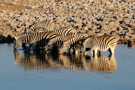Zebras drinking water, Okaukeujo waterhole, Etosha National Park, Namibia