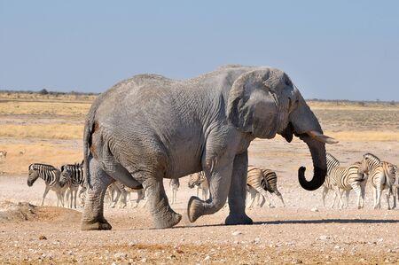 terrestrial mammal: Elephant walking in the Etosha National Park, Namibia