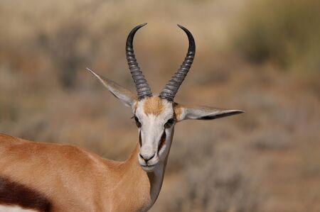 springbok: Springbok in the Etosha National Park Stock Photo