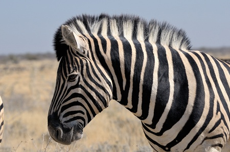 equid: Lonely Zebra in Etosha National Park, Namibia Stock Photo