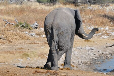 terrestrial mammal: Elephant standing at ease at Okaukeujo in the Etosha National Park, Namibia