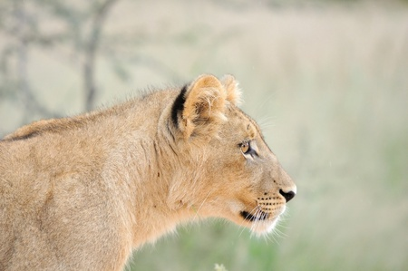 A lion cub, Kgalagadi Transfrontier Park Stock Photo - 14690083