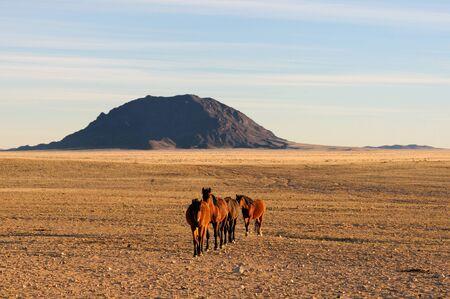 equid: Wild Horses of the Namib near Aus, Namibia.