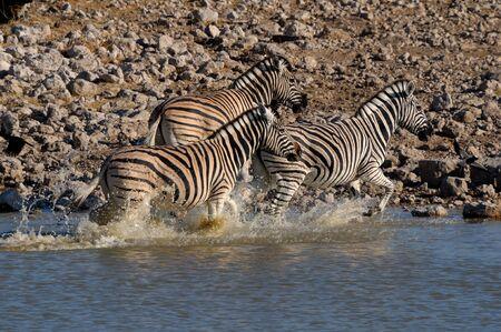 equid: Zebra stampede, Okaukeujo waterhole, Etosha National Park, Namibia