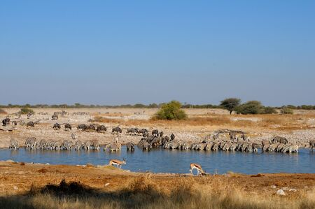 Blue Wildebeest, Zebra and Springbok drinking water at the Okaukeujo waterhole, Etosha National Park, Namibia Stock Photo