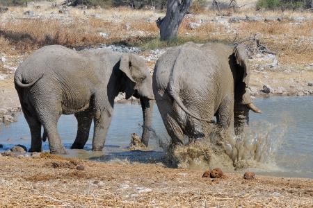 An Elephant taking a mud bath at the Okaukeujo waterhole, Etosha National Park, Namibia photo