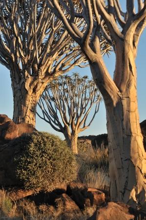 quiver: Zonsopgang bij het Quiver Tree Forest nabij Keetmanshoop, Namibië