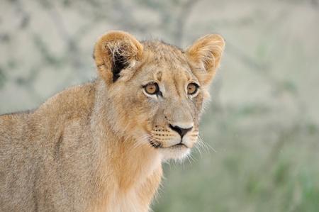 A lion cub, Kgalagadi Transfrontier Park. Stock Photo - 15193554