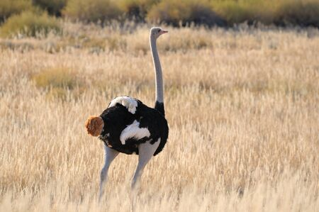 kgalagadi: A male Ostrich in the Kgalagadi Transfrontier Park, South Africa Stock Photo
