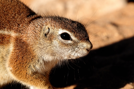 xerus inauris: Cape Ground Squirrel  Xerus Inauris taken at Mata Mata in the Kgalagadi Transfrontier Park, South Africa