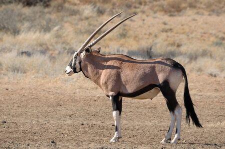 kgalagadi: Oryx  Gemsbok  in the Kgalagadi Transfrontier Park, South Africa Stock Photo