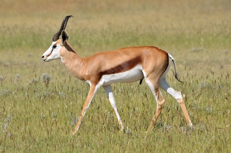 Solitary Springbok in the Etosha National Park Stock Photo