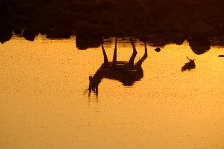 Reflection of a Springbok at sunset  in the Etosha National Park in Namibia photo
